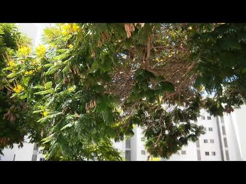 Цезальпиния Желтые Цветы Свечи(2)
