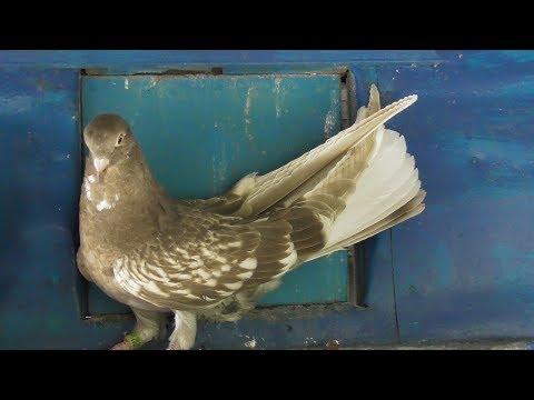 Николаевские голуби. История, проблемы, перспективы
