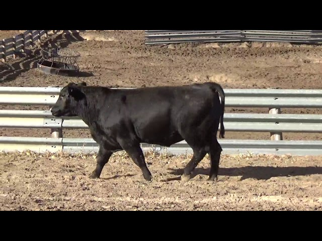 Connealy Angus Lot 253