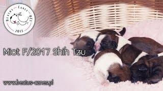 Szczeniaki z miotu F/2017 Shih Tzu - Beatus Canes