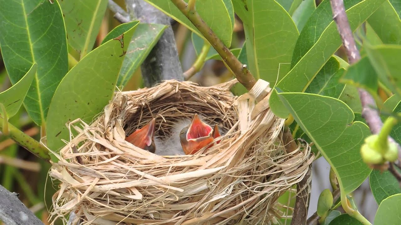 red bird nest and - photo #6