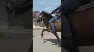 "Yorga atlar ""Boz at"" İmişli"