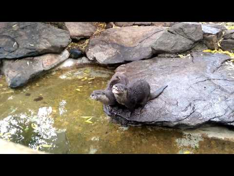 Adelaide Zoo - Feeding Time For The Otters