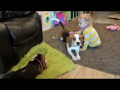 Cute dogs get a daily check up from baby vet (Charlie the dog)