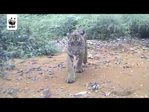 Tiger cubs sniff WWF camera trap