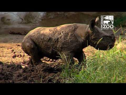 Black Rhino Calf Kendi 1st Time in Mud Wallow - Cincinnati Zoo