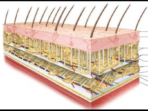 Fascia anatomy definition