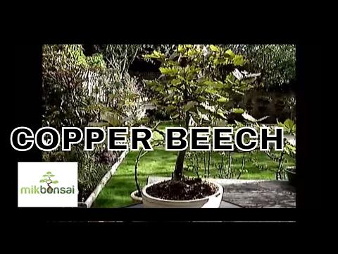 British Copper Beech Bonsai Trees for beginners in bonsai