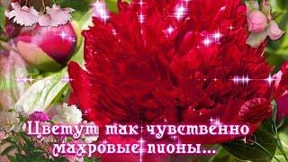 Цветут так чувственно махровые пионы ...