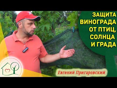 Защита винограда от птиц, ос, града и солнца Органический виноград Евгения Пригаровского