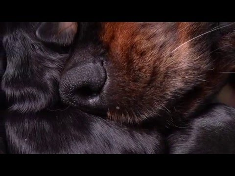 Gordon Setter puppies