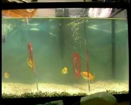 Gold fish lab report