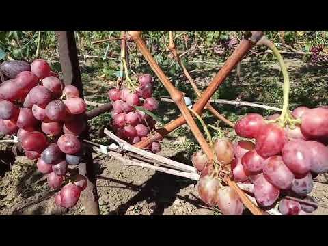 Сорт Роза красная (1), полонез 50 на 29 августа 2020 виноградник Щереденкова В. А.