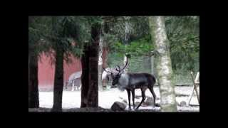 Nordens Ark 2012: Forest reindeer, Rangifer tarandus fennicus