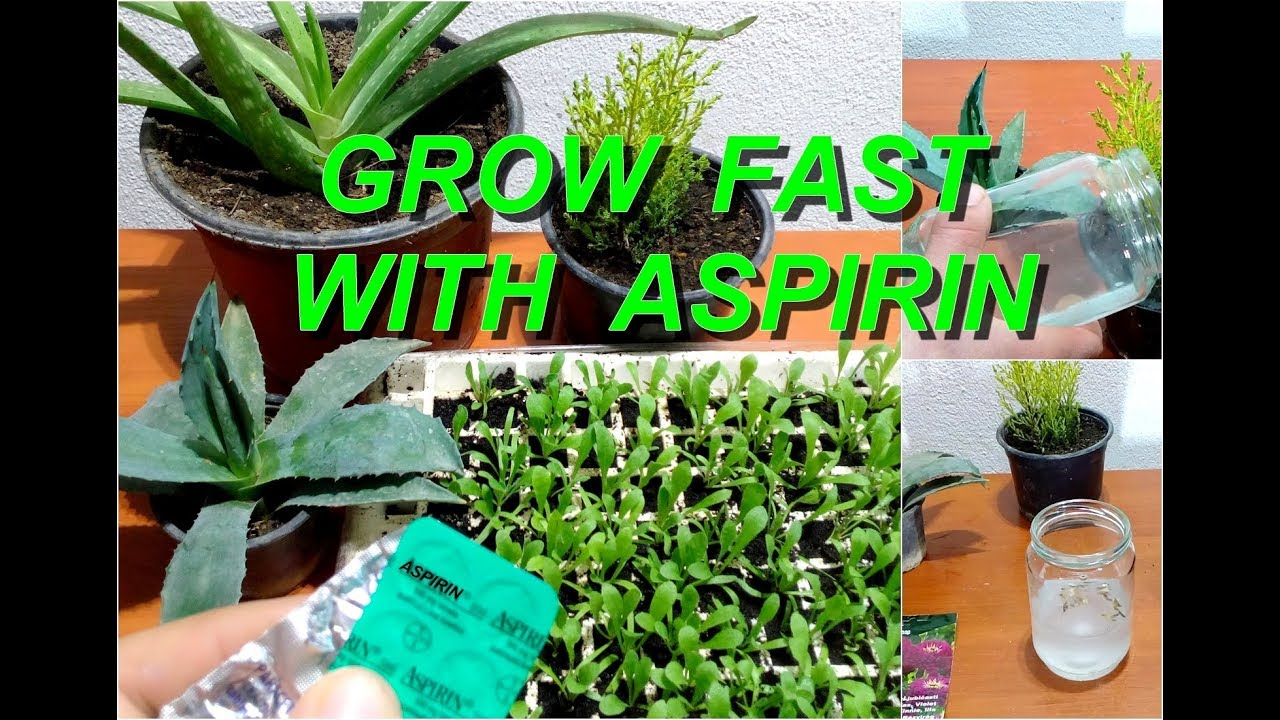 does aspirin effect plants 4 ethylene, also known as the ripening plant hormone affects plants in many ways, like it fastens the ripening of fruits, results in bending of plant stems and loss of chloro-fill using salicylic acid or aspirin can prevent the production of this hormone and block it.