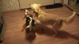 Sensual Mma Training, Beagle Vs Golden Retriever