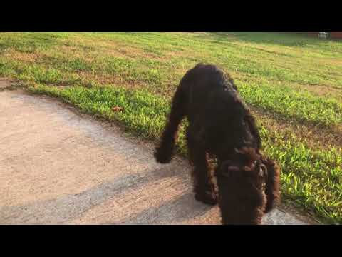 Silly Giant Schnauzer Puppy going CRAZY!! 😜