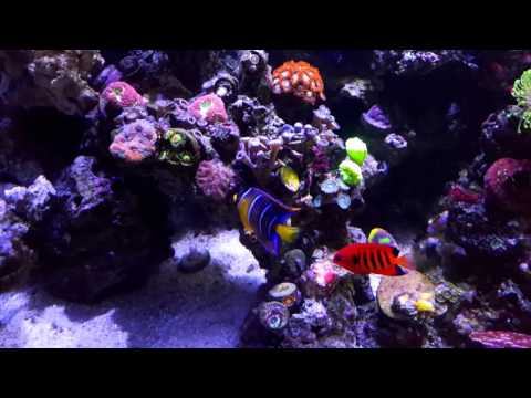 40 Breeder Borbonius Anthias Queen Angelfish Flame Angelfish Melanurus Wrasse - Wes' Reef