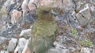Kea birds on the Avalanche Peak hike in Arthur