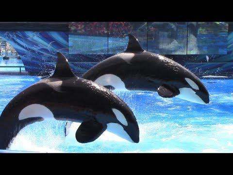 Ocean Discovery (Full Shamu Show) at SeaWorld Orlando on 5/18/17