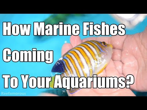 How Marine Fishes Coming To Your Aquariums? Deep Ocean Aquarium, Marine Fishes Importer