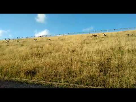 Canguros en Lysterfield Park (VIC)