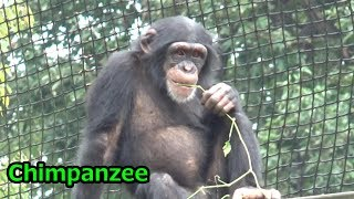 """多摩動物公園のチンパンジーフブキです。 Cute Chimpanzee child """"Fubuk..."""