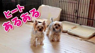 【ヨークシャーテリア専門犬舎チャオカーネ】 ヒートあるある #ヨークシ...