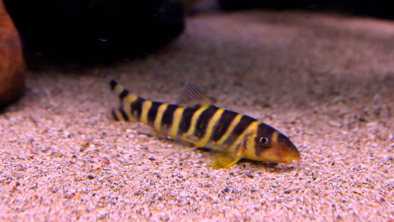 Aquarium Fish Queen Loach Botia Dario Youtube