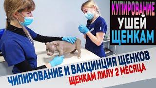 Как перенесут купирование ушей 6 щенков Лилу Чипирование вакцинация скрининг сердца щенкам
