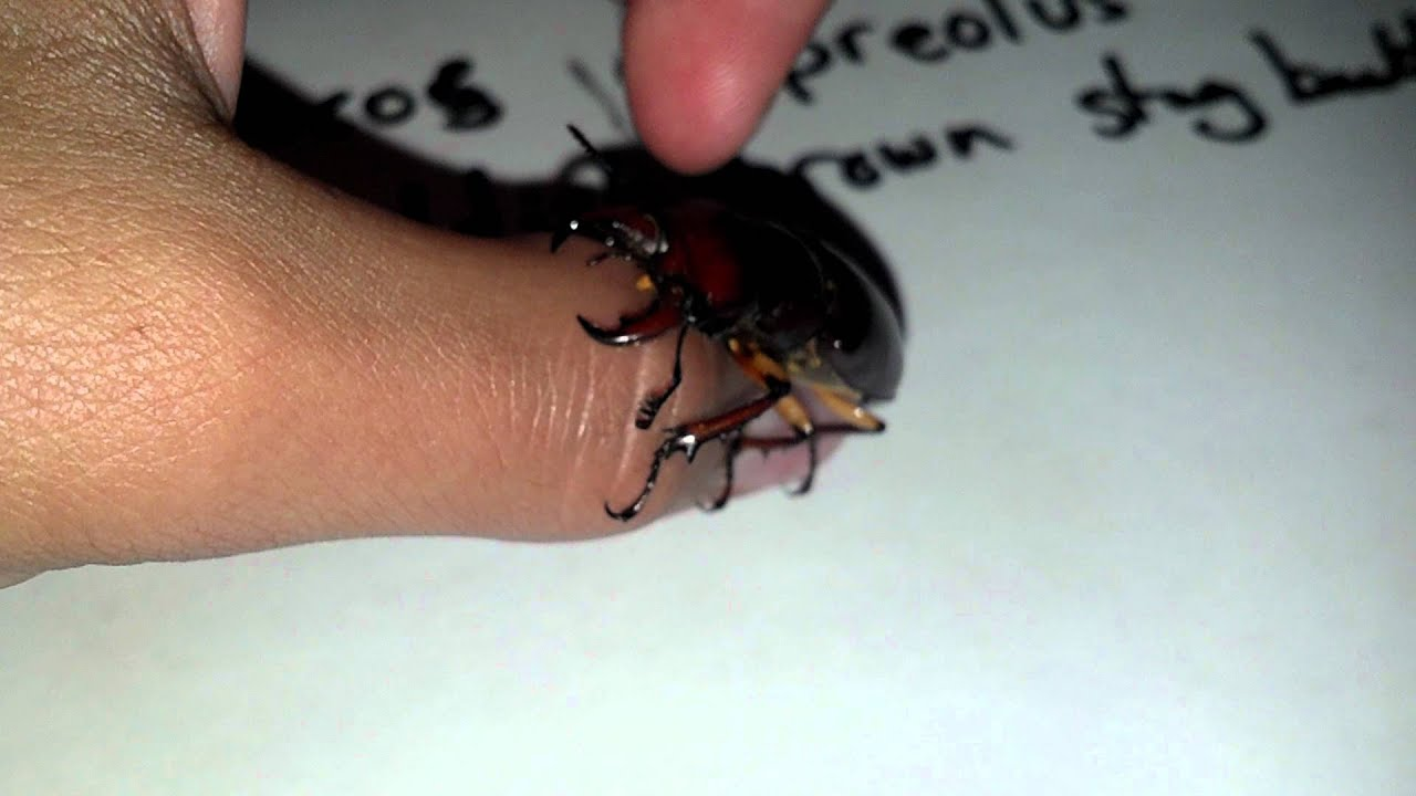 Pics For > Stag Beetle Bite