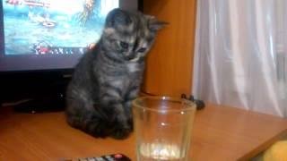 Шотландский котенок знакомится с минералкой
