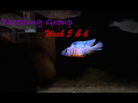 AFRICAN CICHLID FOOD EXPERIMENT | Week 5 & 6 | Best Fish Food For African Cichlids