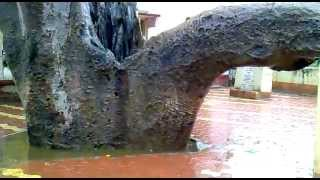 oldest tree (kalpvriksha) fulfill all the wishes in ancient temple
