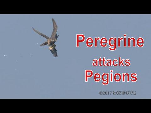Peregrine Attacks Pigeons ハヤブサ 狩り  照ヶ崎海岸 10月中旬 空屋根FILMS#413 野鳥FHD
