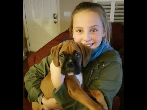 Christmas surprise....It's a Boxer Puppy!