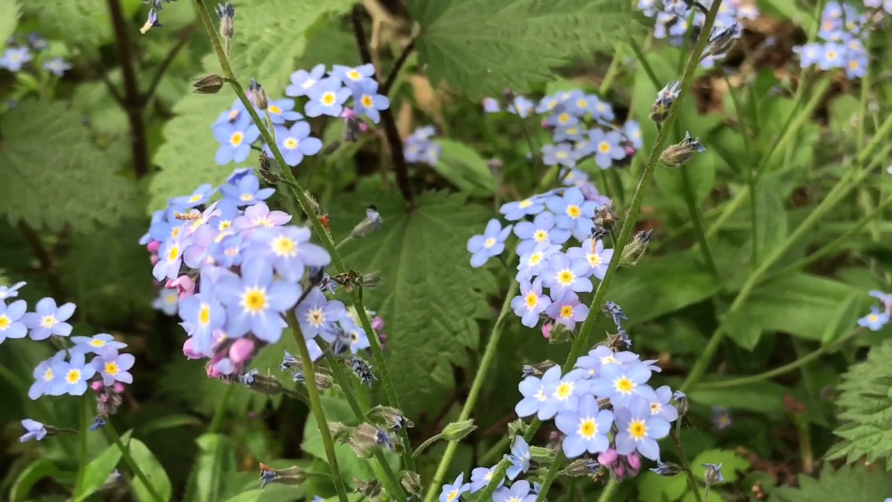 Forget Me Not Flowers Youtube
