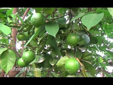 The Thai lime tree is loaded and the mangos are huge, a look at some of my fruit trees