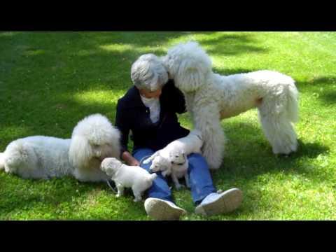 Rabbit, her 4 white standard poodle pups born 6-6-2010 & her Mom, Dogette.mp4
