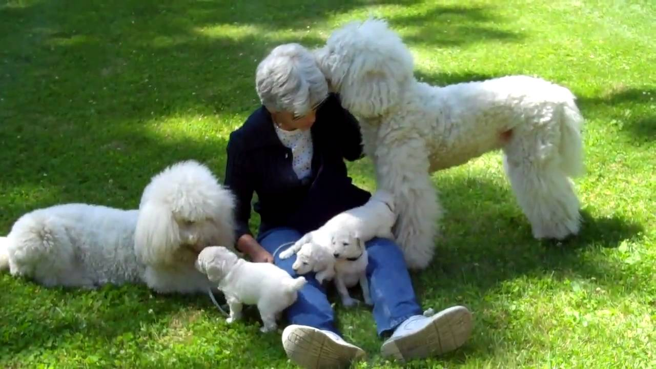 Rabbit Her 4 White Standard Poodle Pups Born 6 6 2010 Her Mom Dogettemp4