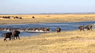 Buffalo Crossing Chobe River, Botswana