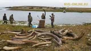 Контрабанда бивней мамонта из Якутии ежегодно достигает 1,5 млрд рублей