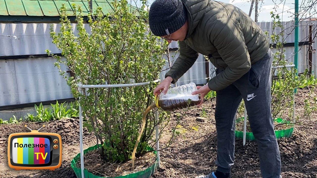 Кормлю кусты смородины этим в апреле и мае потом раздаю ягоды всем подряд! Урожаем заваливает