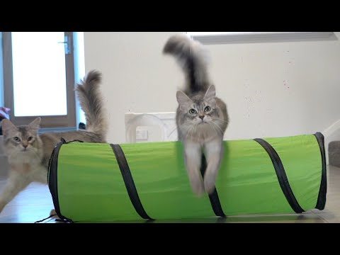 Cat Agility - How to Train a Cat to Jump over Hurdles