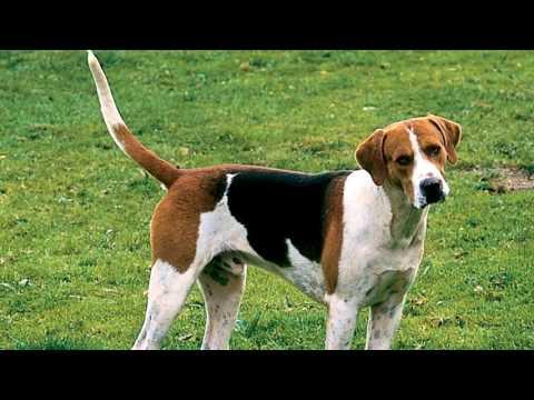 English Foxhound Deworming