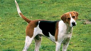 Protect your English Foxhound from Intestinal Worms http://www.petb...