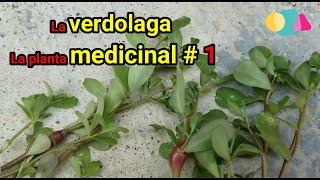 SUPERALIMENTO MEDICINAL    Beneficios De La VERDOLAGA - Verdolaga Para Que Sirve - La Verdolaga