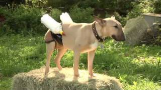 Dog Wears Milk Pants to Feed Baby Goats
