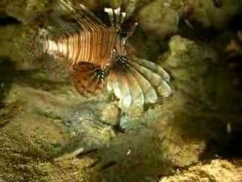 Lion Fish - Red Sea