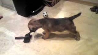 Border Terrier Puppy 8 Weeks